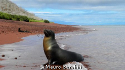 Sea lion on red beach of the Bartolomé island - Galapagos by Mauro Serafini